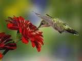 Female Ruby-Throated Hummingbird Feeding on Flower, Louisville, Kentucky