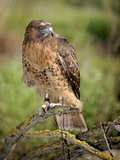 The Red-Tailed Hawk (Buteo Jamaicensis), Captive