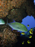 Bluefin Trevally or Jack (Caranx Melampygus) and Schooling Raccoon Butterflyfish