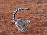 Ring-Tailed Lemur (Lemur Catta), Berenty Private Reserve, Madagascar