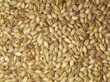 Hulled Barley Grain Seeds (Hordeum Vulgare)