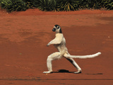 Verreaux's Sifaka Jumping and Walking Locomotion (Propithecus Verreauxi)