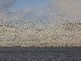 Massive Flock of Snow Geese in Flight, Klamath Basin, Klamath Falls, Oregon