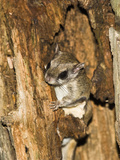 Northern Flying Squirrel in a Tree Hole (Glaucomys Sabrinus), North America