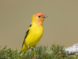 Western Tanager (Piranga Ludoviciana) Perched on Pine