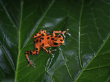 Strawberry Poison Dart Frog (Dendrobates Pumilio Bastimentos),  Native to Bastimentos Island