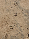 Hyena Tracks, Serengeti National Park, Tanzania