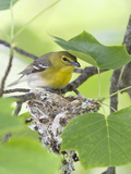 Yellow-Throated Vireo (Vireo Flavifrons) Perched at Nest