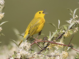 Yellow Warbler (Dendroica Petechia) Perched in a Tree