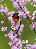 Male Rose-Breasted Grosbeak (Pheucticus Ludovicianus) in Redbud Tree