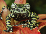 Tiger's Treefrog (Hyloscirtus Tigrinus) on a Bromeliad, Pasto, Department Narino, Colombia