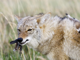 Coyote (Canis Latrans) with Bobwhite Quail Prey, USA