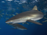 Silky Sharks (Carcharhinus Falciformis), Gulf of Mexico, Louisiana, USA