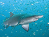 Sand Tiger or Gray Nurse Shark (Carcharias Taurus), North Carolina, USA, Atlantic Ocean