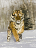 A Siberian Tiger Running in the Snow (Panthera Tigris Altaica), an Endangered Species
