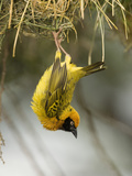 Speke's Masked Weaver Hanging from its Nest, Ploceus Spekei,