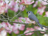 Tufted Titmouse (Baeolophus Bicolor) Perched in Pink Dogwood