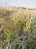 American Woodcock Eggs (Scolopax Minor) Nest and Coyote