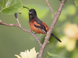 Orchard Oriole (Icterus Spurius) Singing in Tulip Tree