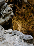 A Socotran Leaf-Toed Gecko (Haemodracon Riebecki) on the Rocks at the Entrance of a Cave, Socotra