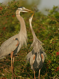 Great Blue Heron Pair Courtship with the Male Giving a Twig to its Female Mate