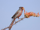 Pyrrhuloxia (Cardinalis Sinuatus) Eats Ocotillo Blossom