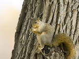 Eastern Fox Squirrel (Sciurus Niger), USA