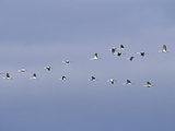 Flock of Sandhill Cranes Flying