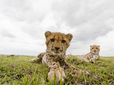 Cheetah Cub with its Mother (Acinonyx Jubatus), Masai Mara, Kenya