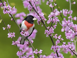 Male Rose-Breasted Grosbeak (Pheuticus Ludovicianus) in Redbud Tree
