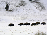 Bison (Bison Bison) Walking in Deep Snow, Yellowstone National Park, USA