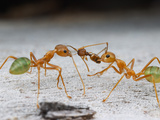 Green Tree Ants (Oecophylla Smaragdina) Eating an Ant (Pheidole), Cape York Peninsula, Queenland