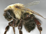 Eastern Bumblebee (Bombus Impatiens), Order Hymenoptera, Family Apidae, Eastern North America