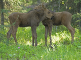 Two Moose Calves in the Spring (Alces Alces), North America