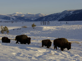 Bison (Bison Bison) Walking in Snow, Yellowstone National Park, USA