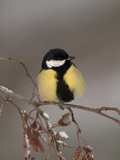Great Tit on a Snowy Branch (Parus Major), Pyrenees, France