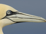 Close Up of the Head of a Northern Gannet, Scotland, UK
