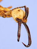 Head of the Army Ant (Eciton Burchellii) Showing its Eyes, Antennae, and Large Mandibles