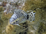 Buy Harlequin Bass (Serranus Tigrinus), Family Serranidae, Caribbean at AllPosters.com