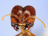 Head of a Fire Ant (Solenopsis Geminata) Showing its Compound Eyes, Antennae, and Mouthparts