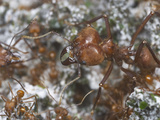 Leafcutter Ant Queen and Workers (Atta Cephalotes) in the Nest Fungus Garden