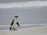 The African Penguin (Spheniscus Demersus), South Africa