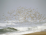 Sanderling (Calidris Alba) Flock in Flight over Ocean Waves, Long Island, New York, USA