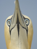 Close Up of the Head of a Northern Gannet During Sky Pointing Courtship Display, Scotland, UK
