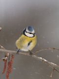Blue Tit (Parus Caeruleus) on a Snowy Branch During a Snowstorm with its Feathers Fluffed