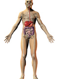 Human Male Figure Showing Digestive System and Skeleton