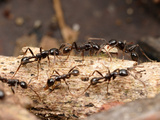 Ants (Neivamyrmex Pilosus) Is Among the More Commonly Encountered of the Neotropical Army Ants