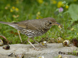 Song Thrush (Turdus Philomelos) at Anvil Smashing Land Snails on Rock, UK
