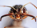 Close Up of an Ant Head Showing the Compound Eyes, Antenna, and Mouthparts (Odontomachus)