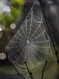 Spider Web with Dew, Archbold Biological Station, Florida, USA